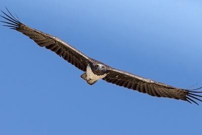 Etosha National Park, Namibia. Martial Eagle in Flight-Janet Muir-Photographic Print