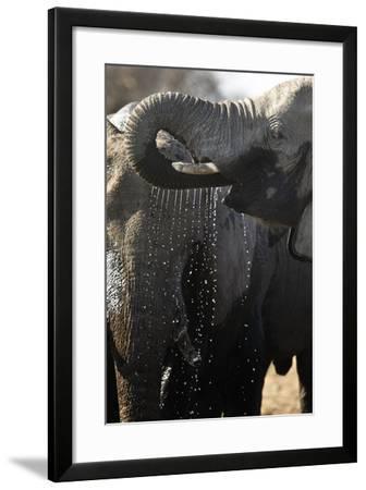 Etosha NP, Namibia, Africa. African Bush Elephant Drinking-Janet Muir-Framed Photographic Print