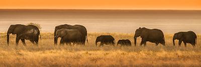 Etosha NP, Namibia, Africa. Elephants Walk in a Line at Sunset-Janet Muir-Photographic Print