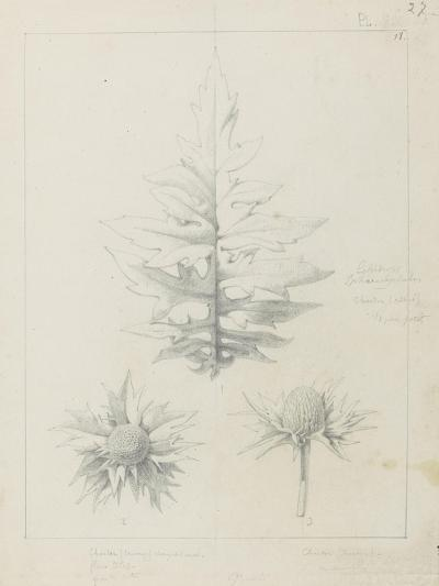 Etude de feuilles de echirops, de sphoerophalus, chardon cultivé, de chardon sauvage de la mer, de-Robert-Victor-Marie-Charles Ruprich-Giclee Print