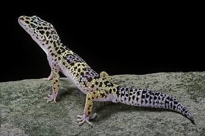 Eublepharis Macularius (Leopard Gecko)-Paul Starosta-Photographic Print