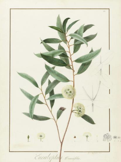 Eucalyptus Diversifolia, 1811 (W/C and Bodycolour over Traces of Graphite on Vellum)-Pierre Joseph Redoute-Giclee Print