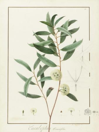 https://imgc.artprintimages.com/img/print/eucalyptus-diversifolia-1811-w-c-and-bodycolour-over-traces-of-graphite-on-vellum_u-l-purj750.jpg?p=0