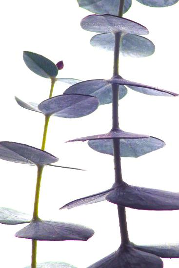 Eucalyptus II-Monika Burkhart-Photographic Print