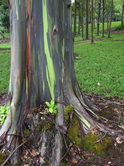 Eucalyptus Tree Bark, Kauai, Hawaii, USA-Dennis Flaherty-Photographic Print