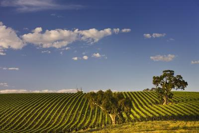 Eucalyptus Trees amongst Grapevines in the Barossa Valley-Jon Hicks-Photographic Print