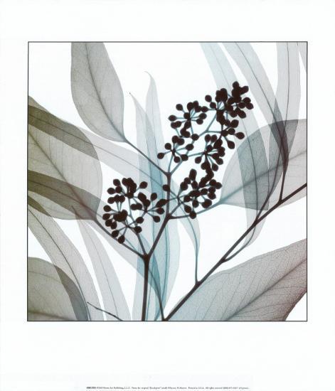 Eucalyptus-Steven N^ Meyers-Art Print