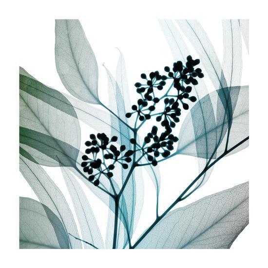 Eucalyptus-Steven N^ Meyers-Giclee Print