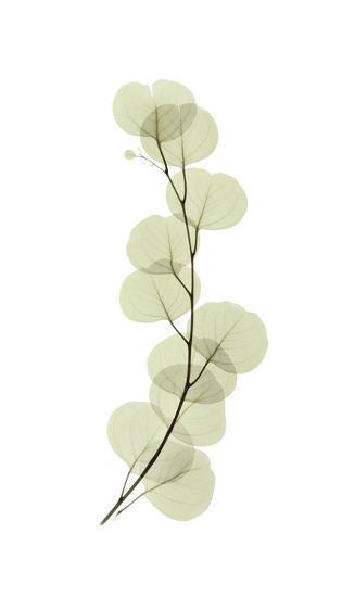 Eucalyptus-Acee-Giclee Print