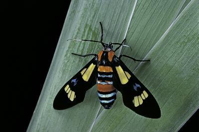 Euchromia Folletii (South African Day-Flying Moth)-Paul Starosta-Photographic Print