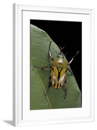 Eudicella Gralli Schultzeorum (Flamboyant Flower Beetle)-Paul Starosta-Framed Photographic Print