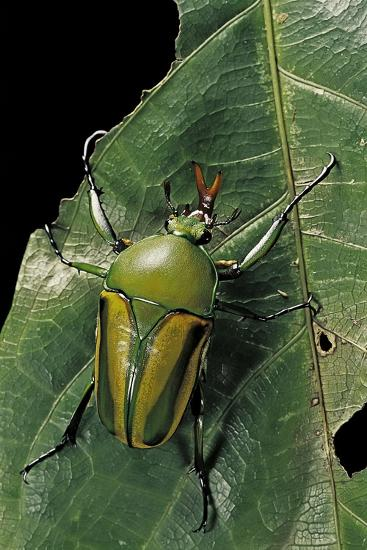 Eudicella Gralli Schultzeorum (Flamboyant Flower Beetle)-Paul Starosta-Photographic Print
