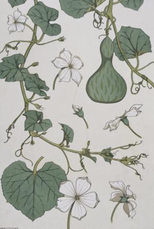 Botanical Diagram of a Gourd by Eugene Grasset