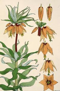 Botanical Diagram of Crown Imperial by Eugene Grasset