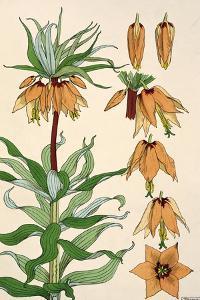 Botanical Diagram of Crown Imperial by Eugene Grasset