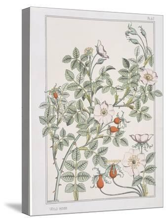 Botanical Diagram of Wild Rose