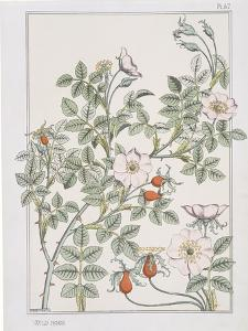 Botanical Diagram of Wild Rose by Eugene Grasset