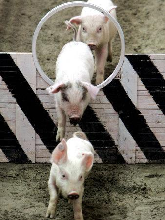 Pigs Compete the Obstacle Race at Pig Olympics Thursday April 14, 2005 in Shanghai, China