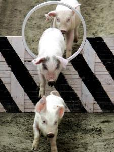Pigs Compete the Obstacle Race at Pig Olympics Thursday April 14, 2005 in Shanghai, China by Eugene Hoshiko