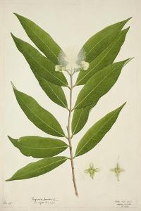 Eugenia Jambos Linn, 1800-10