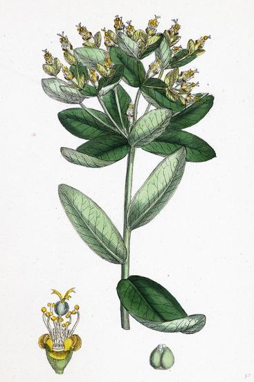 Euphorbia Hiberna Irish Spurge--Giclee Print