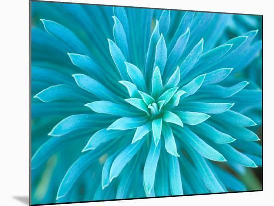 Euphorbia, Roche Harbor, Washington, USA-Rob Tilley-Mounted Photographic Print
