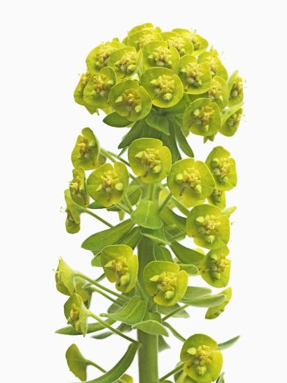 Euphorbia-Frank Krahmer-Photographic Print