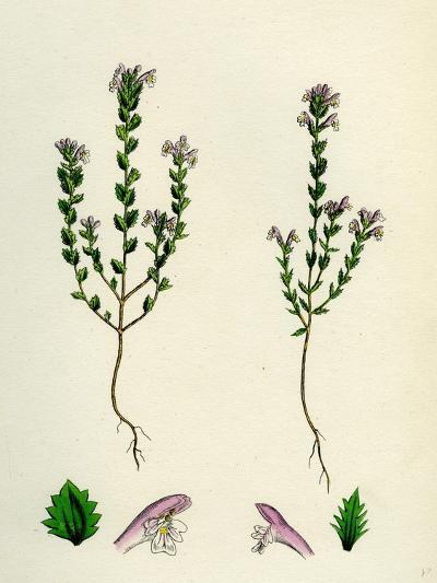 Euphrasia Officinalis Var. Gracilis Common Eyebright Var. B--Giclee Print
