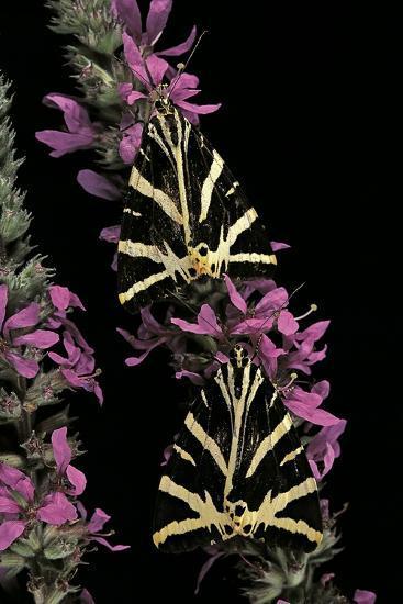 Euplagia Quadripunctaria (Jersey Tiger Moth)-Paul Starosta-Photographic Print