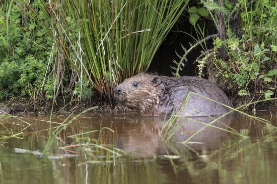Eurasian Beaver (Castor Fiber), Captive in Breeding Programme, United Kingdom, Europe-Ann and Steve Toon-Photographic Print