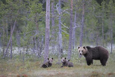 Eurasian Brown Bear (Ursus Arctos) Mother and Cubs in Woodland, Suomussalmi, Finland, July 2008-Widstrand-Photographic Print