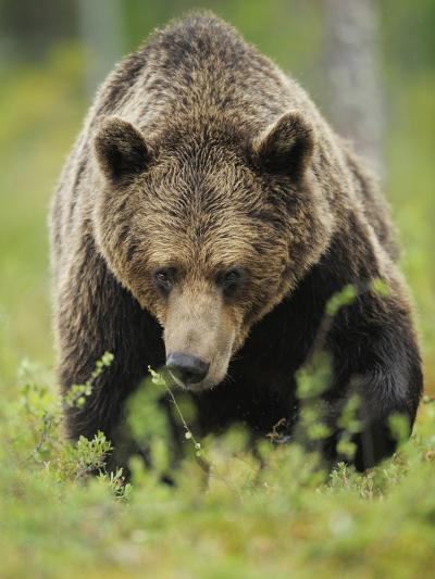 Eurasian Brown Bear (Ursus Arctos) Suomussalmi, Finland, July 2008-Widstrand-Photographic Print