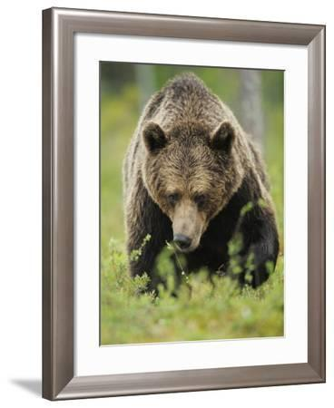 Eurasian Brown Bear (Ursus Arctos) Suomussalmi, Finland, July 2008-Widstrand-Framed Photographic Print