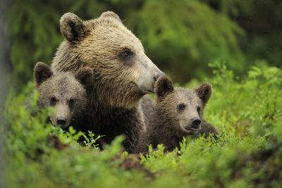 Eurasian Brown Bear (Ursus Arctos) with Two Cubs, Suomussalmi, Finland, July 2008-Widstrand-Photographic Print