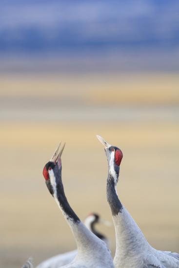 Eurasian/Common Crane (Grus Grus) Pair. Gallocanta Lagoon. Zaragoza Province. Aragon. Spain-Oscar Dominguez-Photographic Print