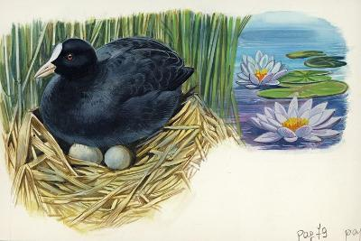 Eurasian Coot Fulica Atra Warming Eggs in the Nest--Giclee Print