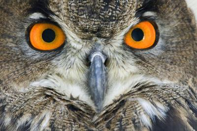 Eurasian Eagle Owl Adult--Photographic Print