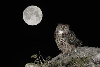 Eurasian Eagle Owl (Bubo Bubo) Adult Perched-Andy Trowbridge-Photographic Print