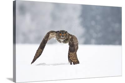 Eurasian Eagle-Owl-Milan Zygmunt-Stretched Canvas Print