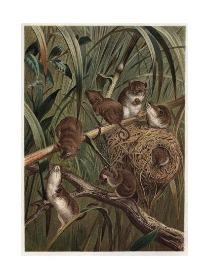 Eurasian Harvest Mouse by Alfred Edmund Brehm-Stefano Bianchetti-Giclee Print