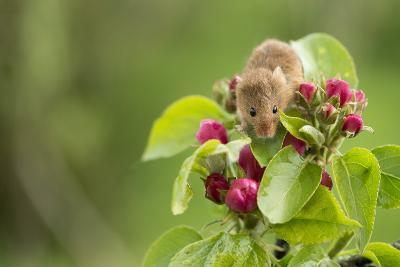 Eurasian Harvest Mouse (Micromys Minutus), Devon, England, United Kingdom-Janette Hill-Photographic Print