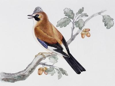 Eurasian Jay (Garrulus Glandarius), Corvidae--Giclee Print
