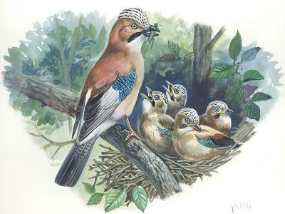 Eurasian Jay Garrulus Glandarius While Bringing Food to Young in Nest--Giclee Print
