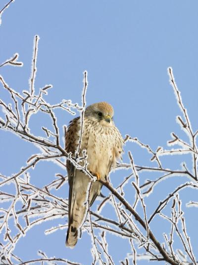 Eurasian Kestrel (Falco Tinnunculus) Female in Winter, Germany-Konrad Wothe-Photographic Print