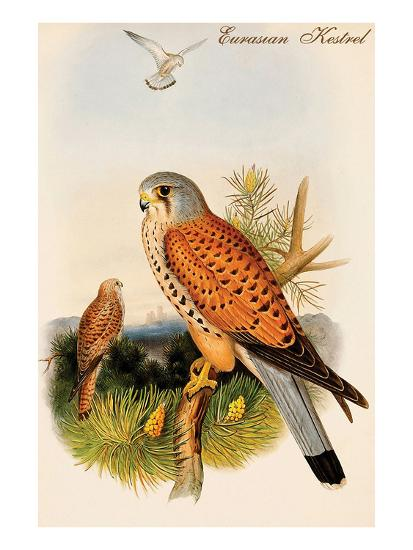 Eurasian Kestrel-John Gould-Art Print