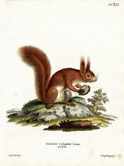 Eurasian Red Squirrel--Giclee Print