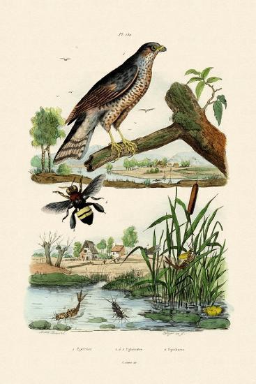 Eurasian Sparrowhawk, 1833-39--Giclee Print