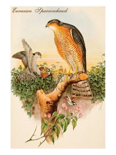 Eurasian Sparrowhawk-John Gould-Art Print