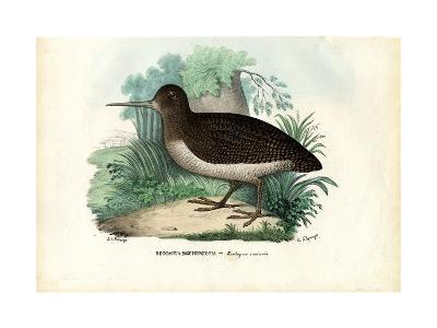 Eurasian Woodcock, 1863-79-Raimundo Petraroja-Giclee Print