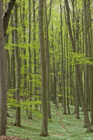 Europe, Germany, Mecklenburg-Western Pomerania, Baltic Sea Island R?gen, Forest Path-Chris Seba-Photographic Print